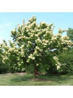 Syringa Reticulata - 25 Seeds - Ivory Silk / Japanese Tree Lilac