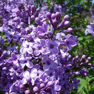 Syringa Vulgaris - 100 seeds - Common Lilac