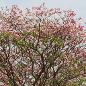 Tabebuia Rosea 'Pink' - 25 Seeds - Pink Poui / Rosy Trumpet Tree