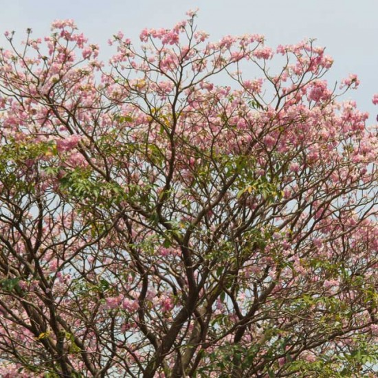 Tabebuia Rosea 'Pink' - 25 Seeds - Pink Poui / Rosy Trumpet Tree