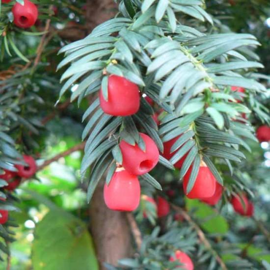 Taxus Baccata - 20 Seeds - English Yew Tree