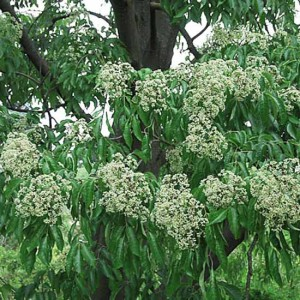 Tetradium Daniellii - 50 Seeds - Korean Evodia or Bee Bee Tree