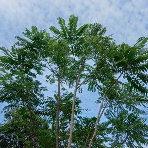 Toona Sinensis - 20 Seeds - Chinese Mahogany or Chinese Cedar