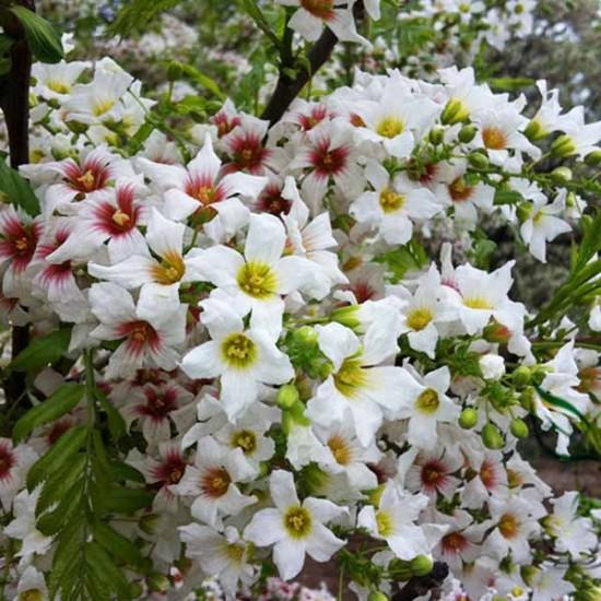 Xanthoceras Sorbifolium - 5 Seeds - Yellowhorn Chinese Flowering Chestnut