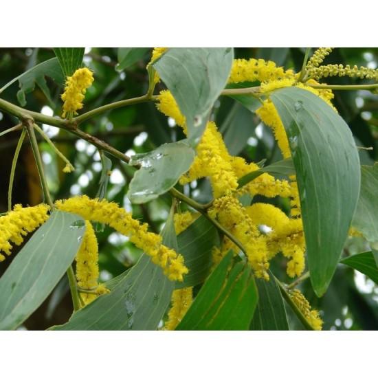 Acacia Auriculiformis - 50 Seeds - Earleaf Earpod Wattle