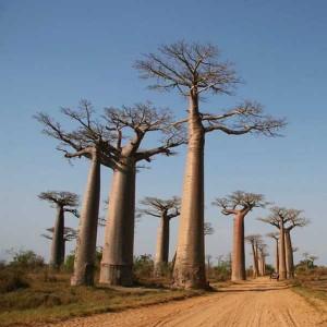 Adansonia Madagascariensis - 5 Seeds - Madagascar Baobab Tree