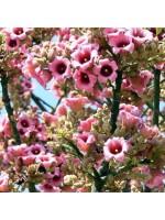 Brachychiton Discolor - 10 Seeds - Lacebark Kurrajong Tree