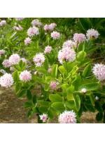 Dais Cotinifolia - 10 Seeds - Pompom Tree