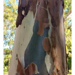 Eucalyptus Citriodora - 50 Seeds - Corymbia Lemon Scented Eucalyptus