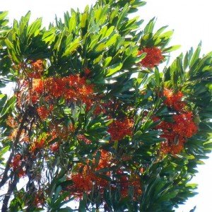 Stenocarpus Sinuatus - 10 Seeds - Firewheel Tree - Australian Native