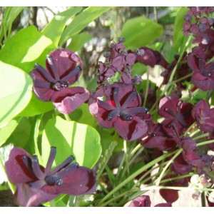 Akebia Quinata - 10 Seeds - Chocolate Vine or Five Leaf Akebia