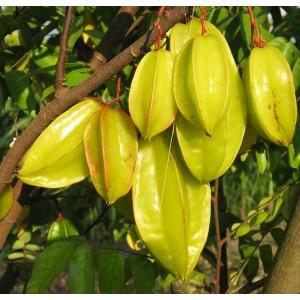 Averrhoa Carambola - 6 Seeds - Fresh Tropical Star Fruit Seeds