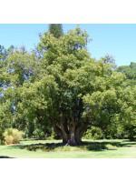 Cinnamomum Camphora - 10 Seeds - Camphor Tree