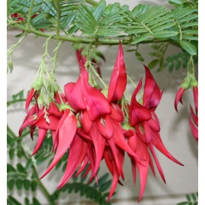 Clianthus Puniceus - 10 Seeds - Lobster Claw Flower / Kaka Parrot Beak