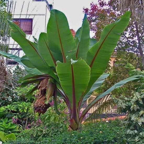 Ensete Ventricosum - 10 Seeds - Ethiopian or Abyssinian Banana