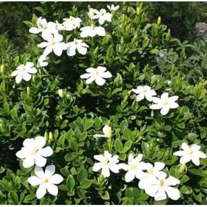 Gardenia Jasminoides ( Angusta ) - 50 Seeds - Fragrant Flowers