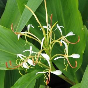 Hedychium Spicatum - 10 Seeds - Himalayan Ginger