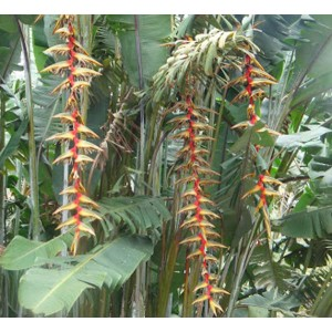 Heliconia Griggsiana Seeds - Tropical WOW flowers! Banana foliage!