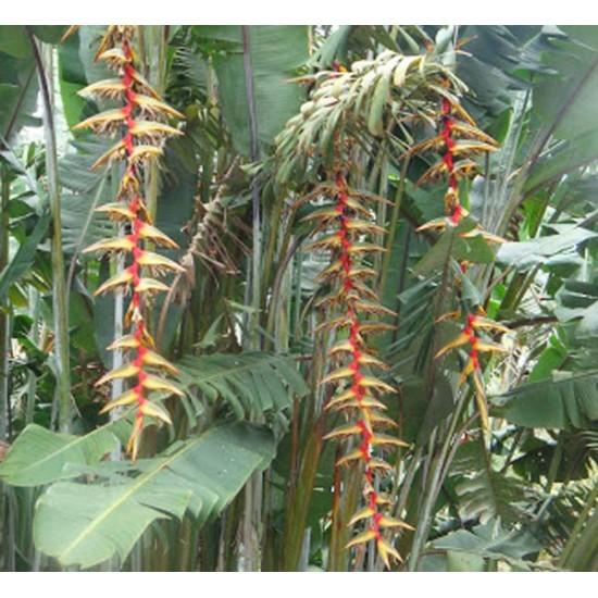 Heliconia Griggsiana Seeds - Tropical WOW flowers! Banana foliage!