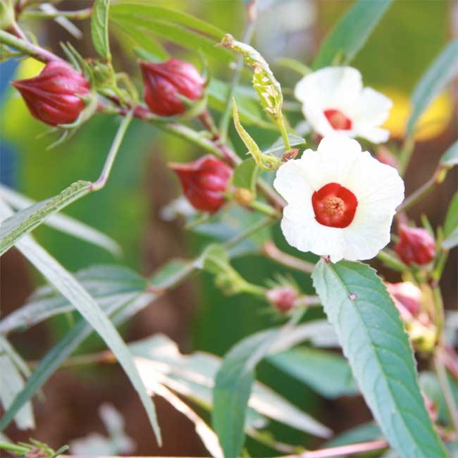 Hibiscus Sabdariffa - ...