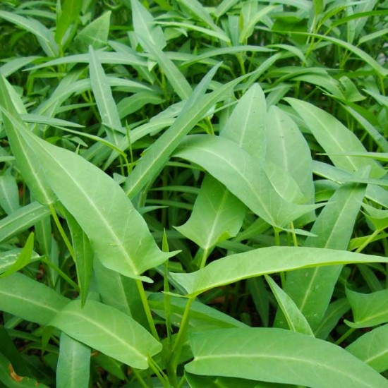 Ipomoea Aquatica - 25 Seeds - Bamboo-leaved Entsai / Water Spinach / Ong Choy