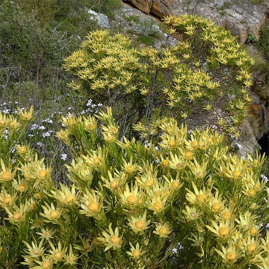 Leucadendron Xanthoconus - 10 Seeds - Sickleleaf Conebush