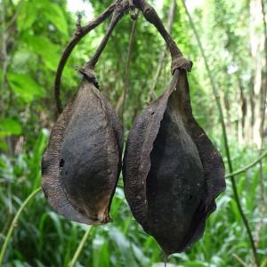 Mucuna Gigantea - 3 Seeds - Black Sea Bean Vine