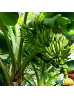 Musa Acuminata subsp. Acuminata - 10 Seeds - Wild Banana