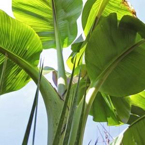 Musa Sikkimensis - 50 Seeds -  Hardy Ornamental Darjeeling Banana