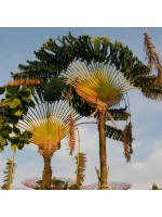 Ravenala Madagascariensis - 10 Seeds - Travelers Palm Tree