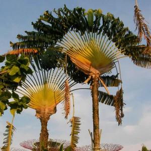 Ravenala Madagascariensis - 10 Seeds - Travelers Palm Tree