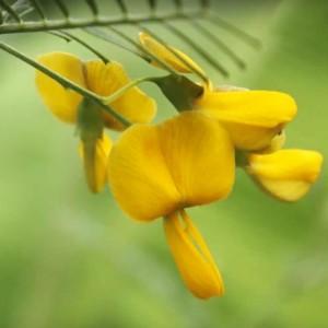 Sesbania Javianica - 10 Seeds - Sesbania Pea