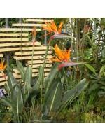 Strelitzia Reginae - 10 Seeds - Bird of Paradise Flower