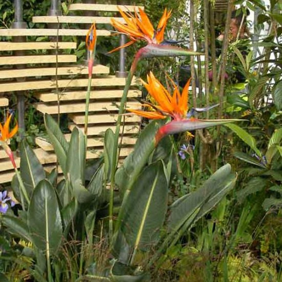 Strelitzia Reginae - 50 Seeds - Bird of Paradise Flower