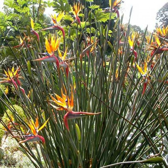Strelitzia Juncea - 5 Seeds - Leafless Bird of Paradise