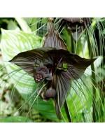 Tacca Chantrieri - 50 Seeds - Bat Plant
