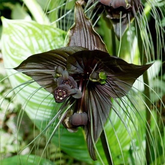 Tacca Chantrieri - 10 Seeds - Bat Plant