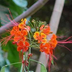 Caesalpinia Pulcherrima - 10 Seeds - Barbados Pride Poinciana
