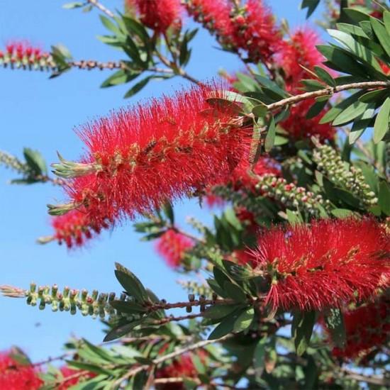 Callistemon Citrinus - 200 Seeds- Australian Bottlebrush