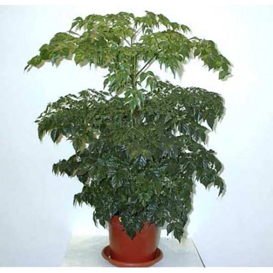 Radermachera Sinica - 20 Seeds - China Doll - Emerald Tree