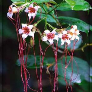Strophanthus Petersianus - Seeds - Poison Rope Plant