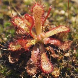 Drosera Venusta - 20 Seeds - South Africa Sundew Carnivorous Plant