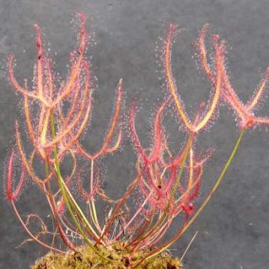Drosera Binata Dichotoma 'Small Red Form' - 20 Seeds - Carnivorous Sundew