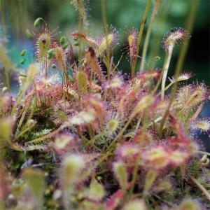 Drosera Nidiformis - 20 Seeds - African Sundew Carnivorous Plant
