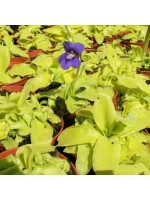 Pinguicula Grandiflora - 15 Seeds - Carnivorous Butterwort Plant