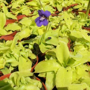 Pinguicula Grandiflora - 100 Seeds - Carnivorous Butterwort Plant