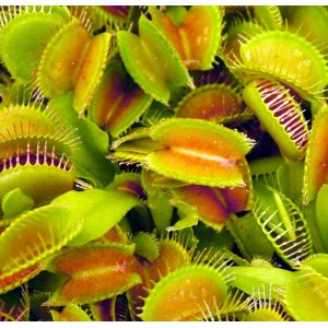 Venus Fly Trap - 10 Seeds - Dionaea Muscipula Carnivorous Plant
